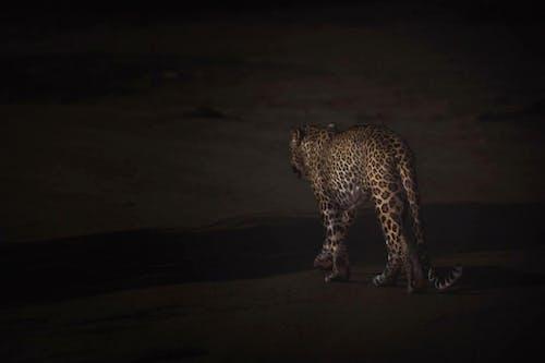 Бесплатное стоковое фото с большой кот, вечер, вид сбоку, гепард