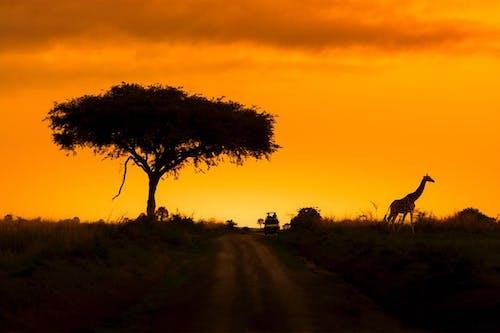 Бесплатное стоковое фото с вечер, дикая природа, жираф, закат