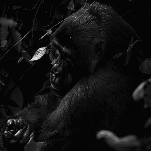 Бесплатное стоковое фото с Взрослый, горилла, группа, джунгли