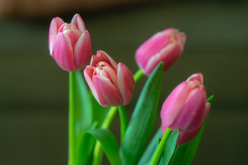 Gratis arkivbilde med rosa tulipaner