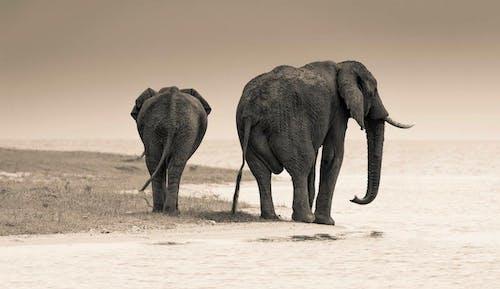 Бесплатное стоковое фото с influencer, африканский слон, варварский, вода