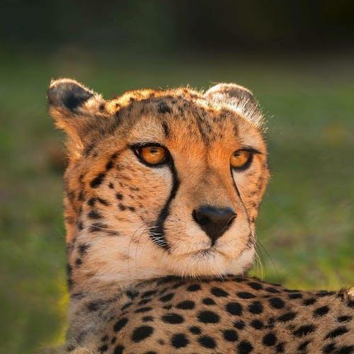 Бесплатное стоковое фото с большой кот, взгляд, гепард, глаз
