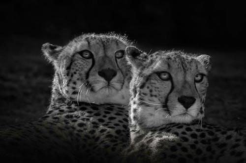 Бесплатное стоковое фото с большой кот, гепард, глаз, дикая природа