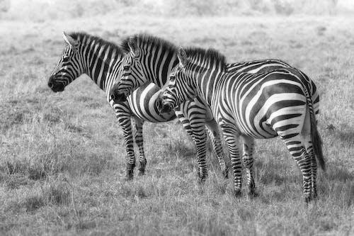 Бесплатное стоковое фото с дикая природа, дикий, животное, заповедник