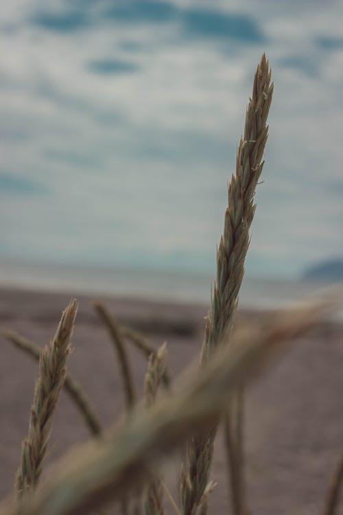 スコットランド, ビーチ, 小麦, 海岸の無料の写真素材