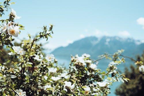 Fotobanka sbezplatnými fotkami na tému denné svetlo, exteriéry, flóra, jabloňový kvet