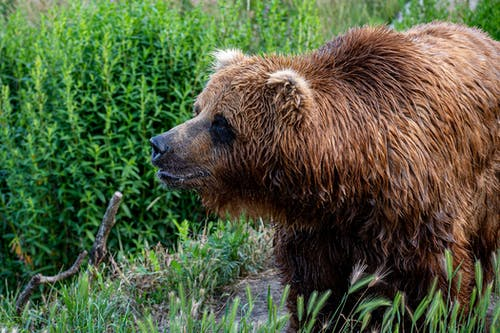 Brown Bear on Green Grass