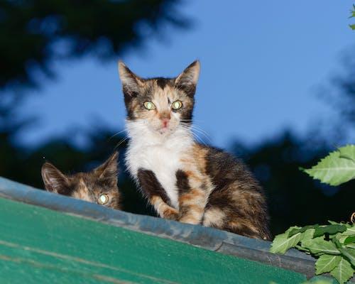 Безкоштовне стокове фото на тему «дерев'яний дах, зелене листя, кішок на даху в ніч, коти»
