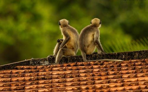 Kostenloses Stock Foto zu affen, pelz, primas, primat