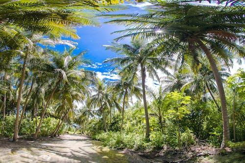 Immagine gratuita di alberi, alberi di cocco, ambiente, cielo