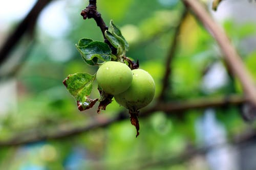 Free stock photo of drops, green apples, leafs, tree