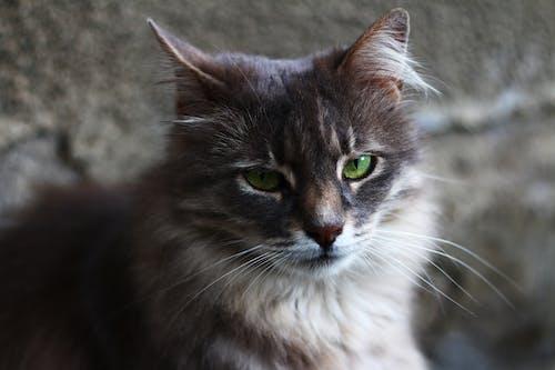 Fotobanka sbezplatnými fotkami na tému mačka, sivá stena, srsť, zelené oči