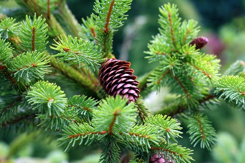 Free stock photo of cone, spruce