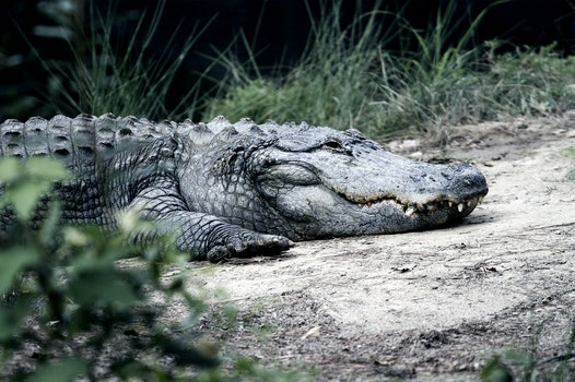 View of Crocodile