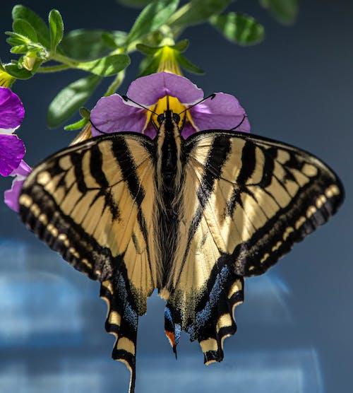 Fotobanka sbezplatnými fotkami na tému motýľ na kvete, vidlochvost