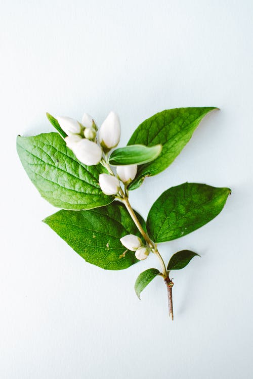 White Flower Buds