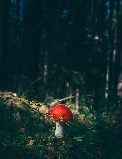 Red and White Mushroom in Forest Floor