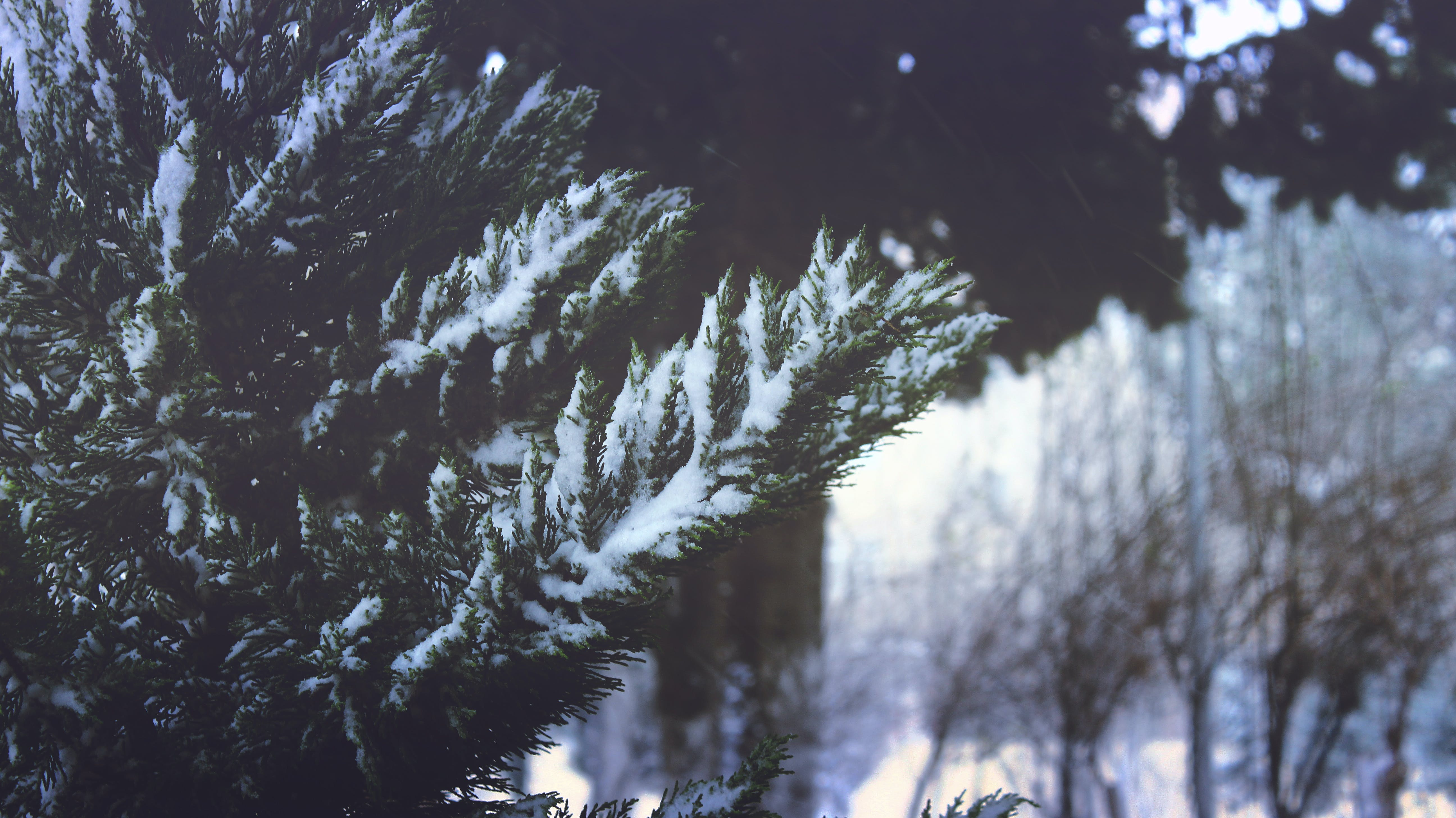 Close-up of Pine Trees in Forest during Winter