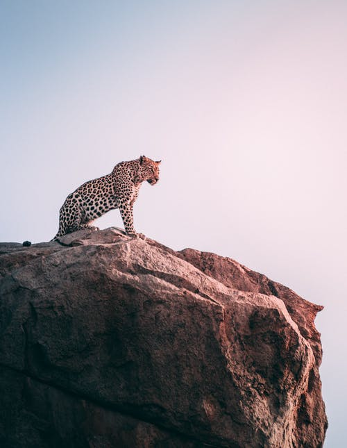 Leopard On Mountain