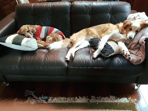 Immagine gratuita di addormentato, animali, cani, divano