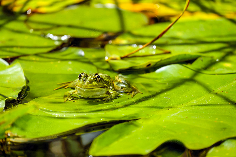 Close-up of Frog on Leaf Floating on Lake