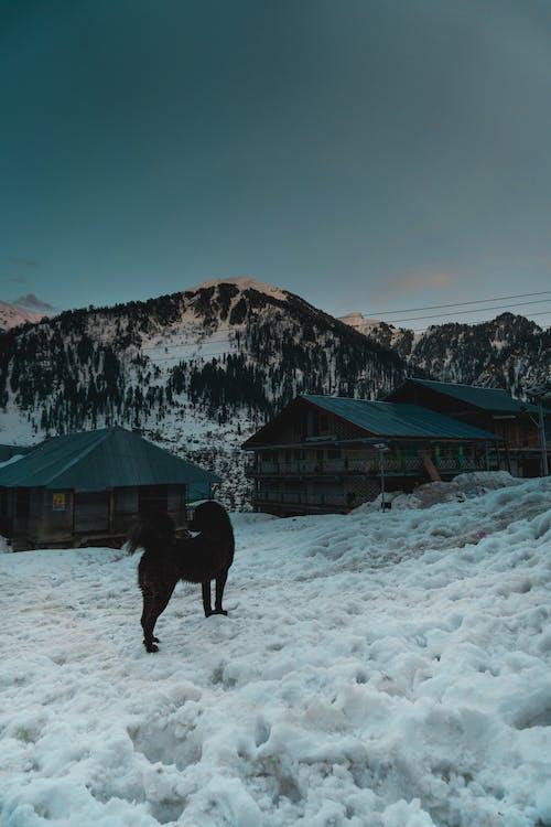 Black Dog Standing On Snow Field
