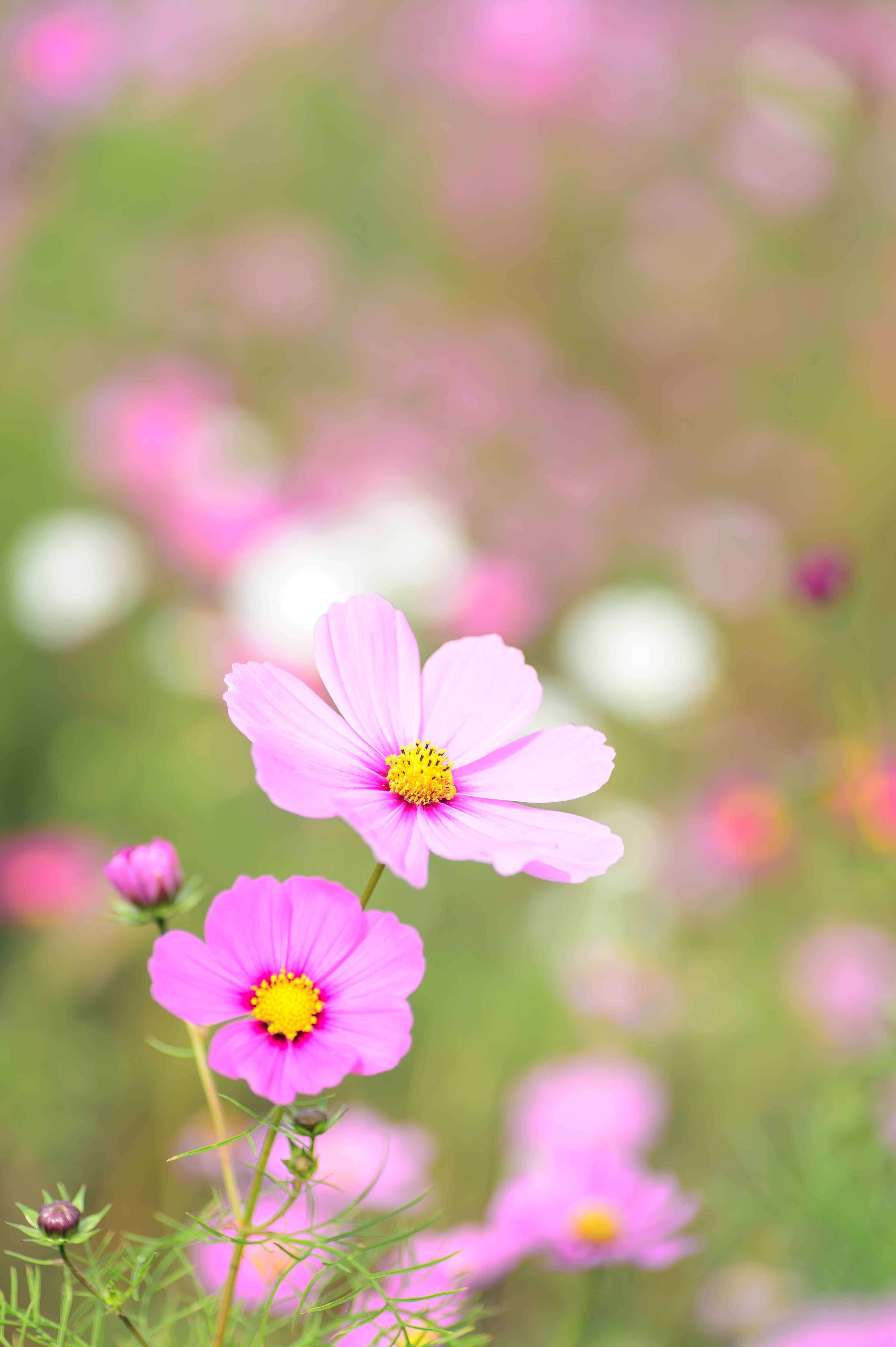 Close-up of Pink Cosmos Flowers