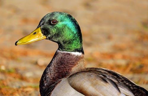 Základová fotografie zdarma na téma kachna divoká, peří, zvíře