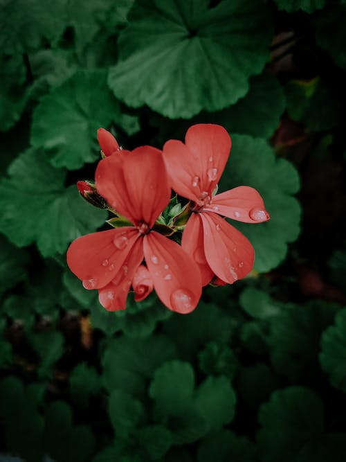 Free stock photo of after the rain, beautiful flower, beautiful flowers, beauty in nature