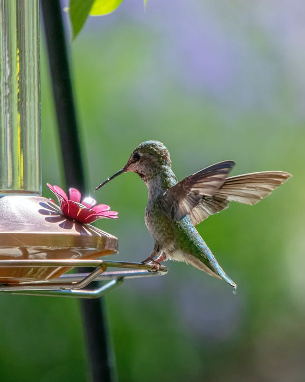 fugl, kolibri