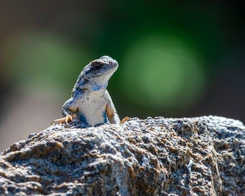 도마뱀, 동물 사진, 락, 보고 있는의 무료 스톡 사진