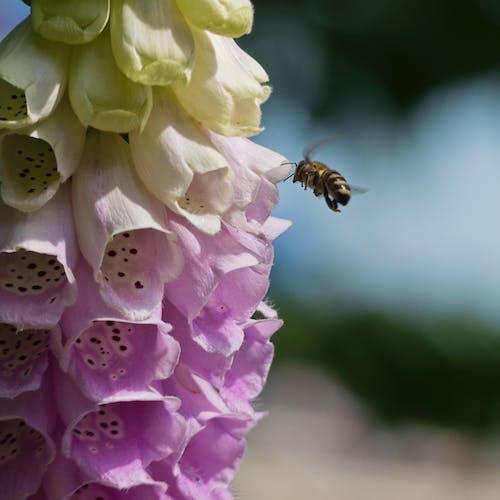 Foto profissional grátis de abelha, flor bonita