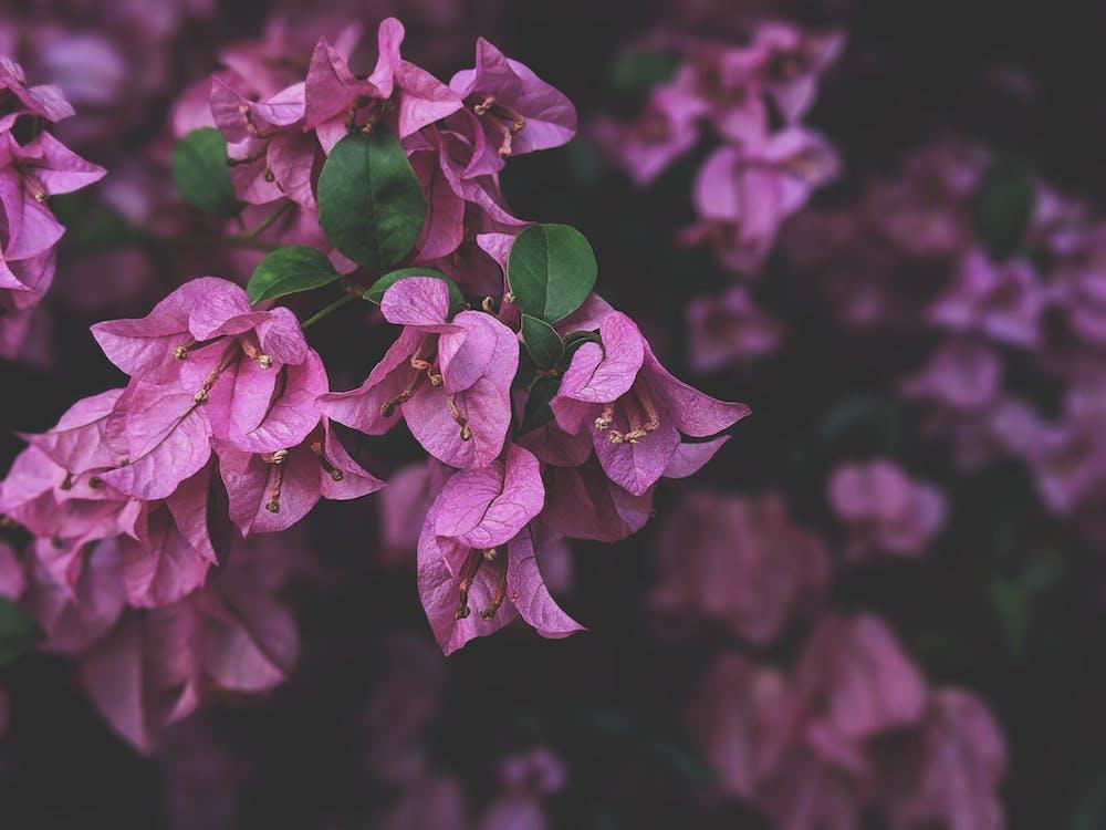 Photo of Purple Bougainvillea Flowers