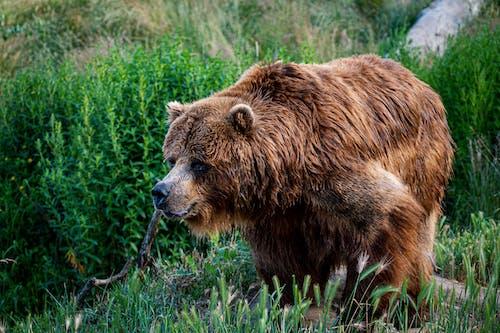Immagine gratuita di animale, carnivoro, erba, fauna selvatica