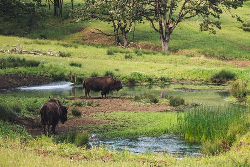 bisons near water