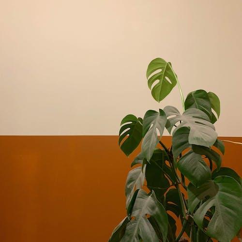 Δωρεάν στοκ φωτογραφιών με εργοστάσιο, Μονστέρα, Φιλόδεντρο, φύλλα