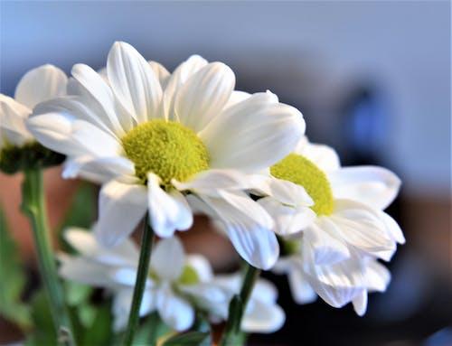 Imagine de stoc gratuită din floare, înflorire, margaretă