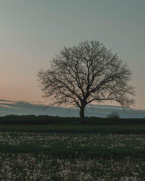 arbre fruiter, arbre solitari, camp d'herba