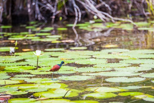 Free stock photo of bird, river, water lilies