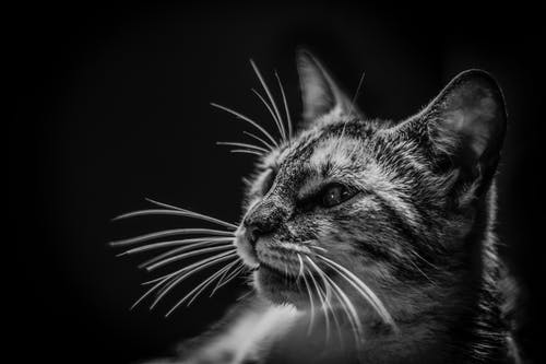Photos gratuites de animal, animal de compagnie, animal domestique, chat