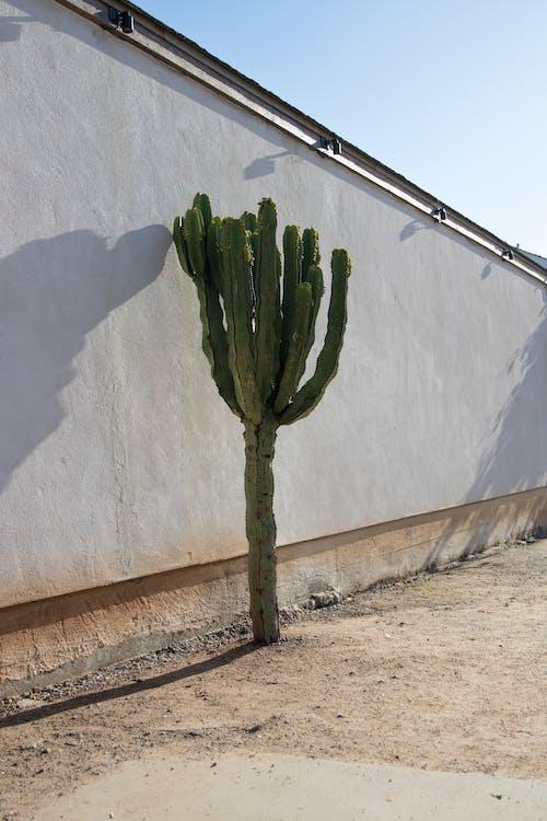 Ilmainen kuvapankkikuva tunnisteilla kaktus, kasvi, muuri, san diego