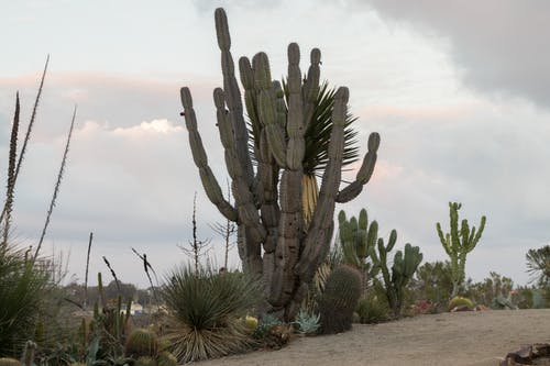 Cactus Growing in Desert Against Sky
