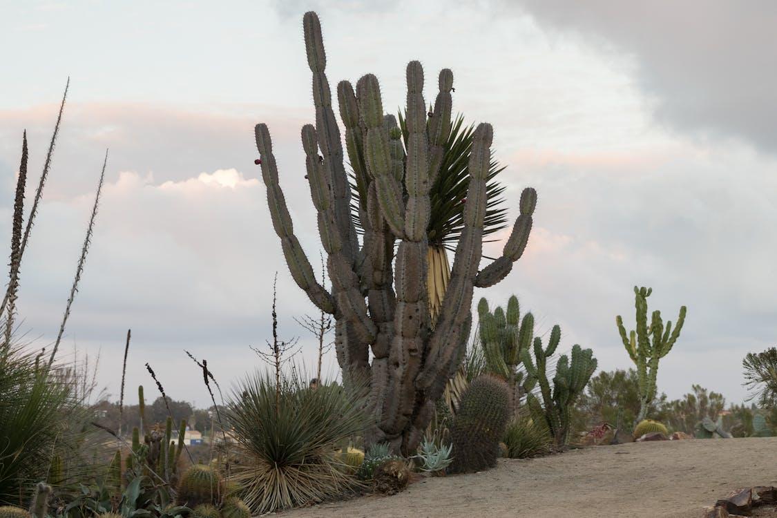 kaktus, pflanze, san diego