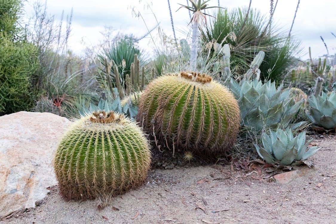 kaktus, pflanze