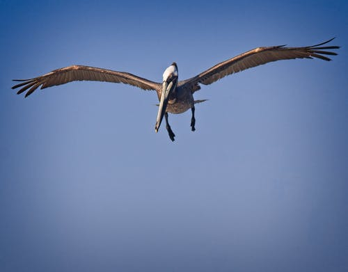 Foto stok gratis #pelican #bird #wildlife #wings