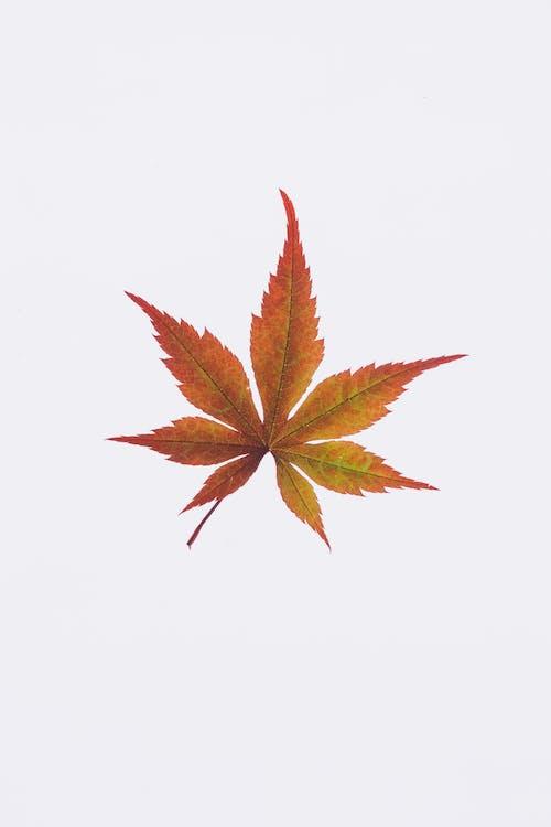 下落, 季節, 白色背景, 葉子 的 免费素材照片