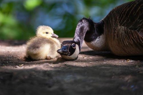 Foto d'estoc gratuïta de a l'aire lliure, amant dels animals, amor maternal, ànec