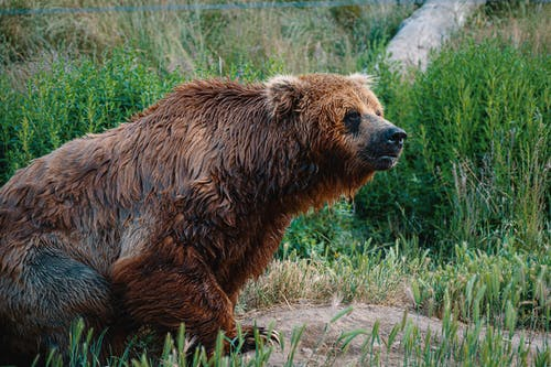 Photo of Wet Brown Grizzly Bear Sitting