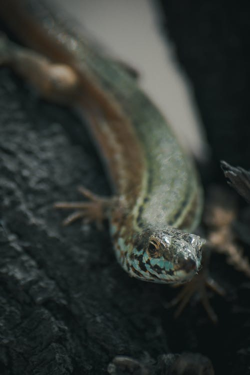 Green and Black Lizard
