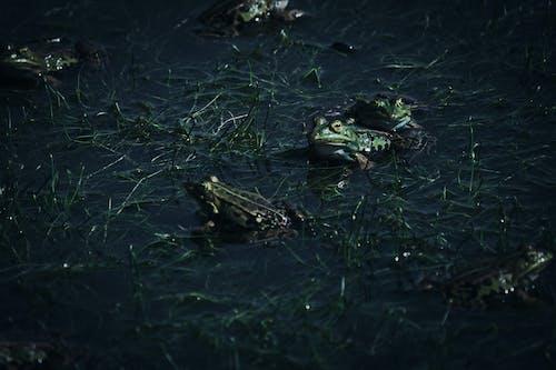 kurbağa, kurbağalar içeren Ücretsiz stok fotoğraf